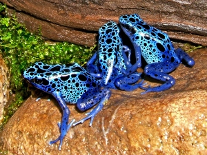 Blue Reef Blue poison dart frogs
